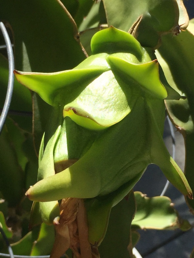 A closer image of the fruit. Since it is swelling up daily, I'm assuming the flower has been successfully pollinated and the actual dragon fruit is forming.