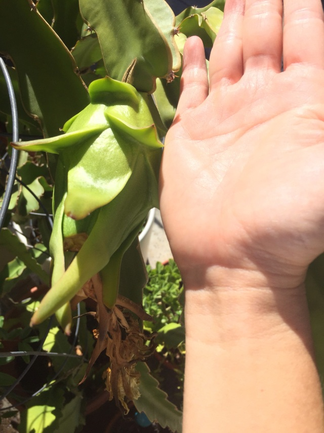 Fruit is now the size of my palm.